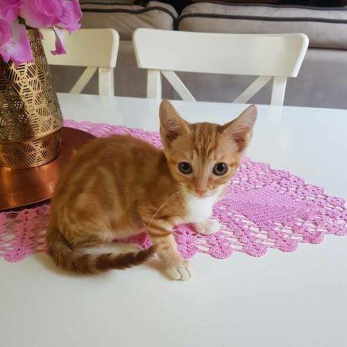 Freddie - Domestic Short Hair Cat