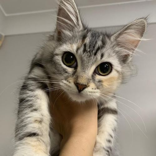 Hermione - Domestic Short Hair Cat