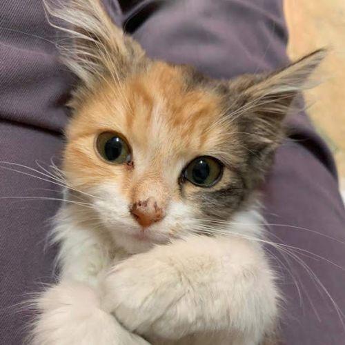 Camillia - Domestic Long Hair Cat