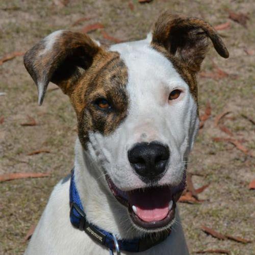 Eddie - Bull Arab Dog