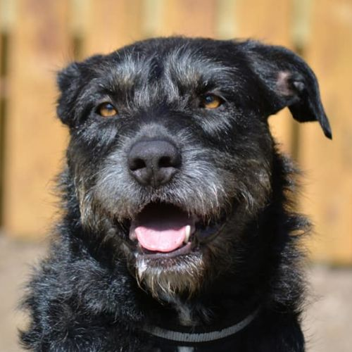 Lindy (Adoption Pending) - Wolfhound Dog