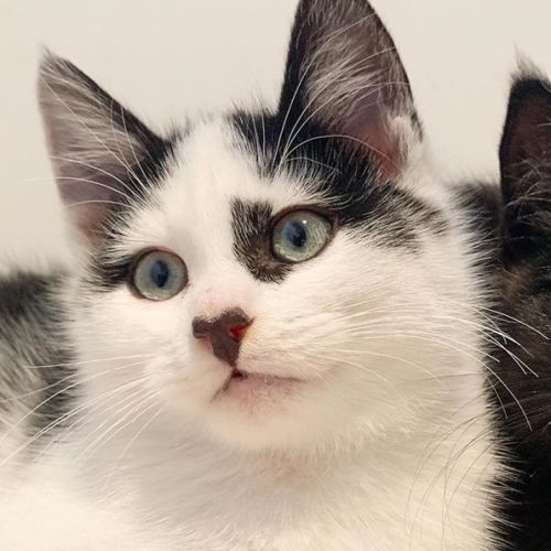 Rookie - Domestic Medium Hair Cat