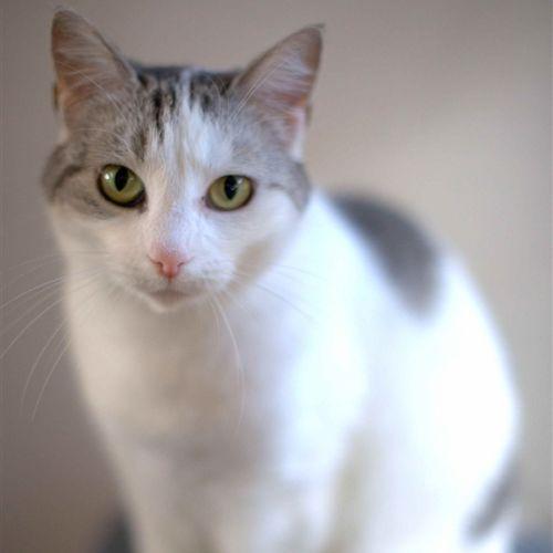 Fallon - Domestic Short Hair Cat