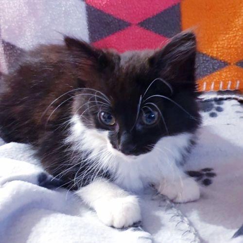 Bandit - Domestic Medium Hair Cat