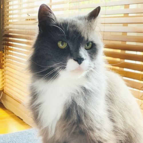 💬 Tom 💬 - Domestic Medium Hair Cat