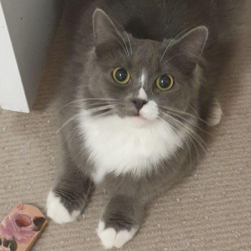 Calliope  - Domestic Long Hair Cat
