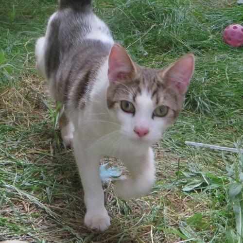 Sullivan - Domestic Short Hair Cat