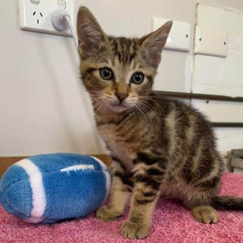 Oats - Domestic Short Hair Cat
