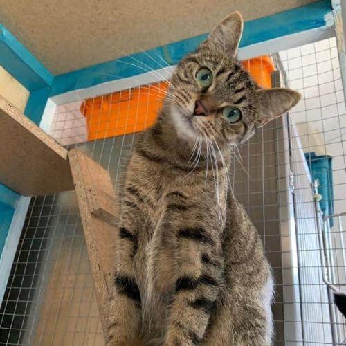 Mabel - Domestic Short Hair Cat