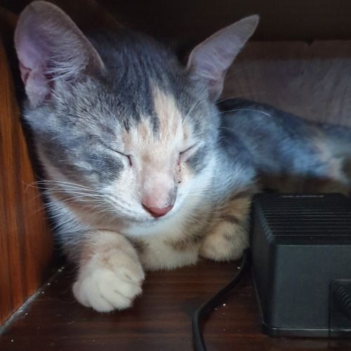 Eve - Domestic Medium Hair Cat