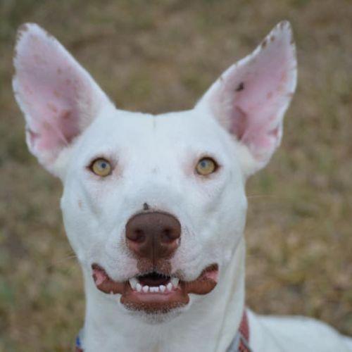 Adelaide - Bull Arab Dog
