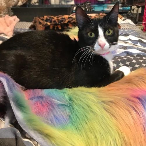 Liberty Belle - Domestic Short Hair Cat
