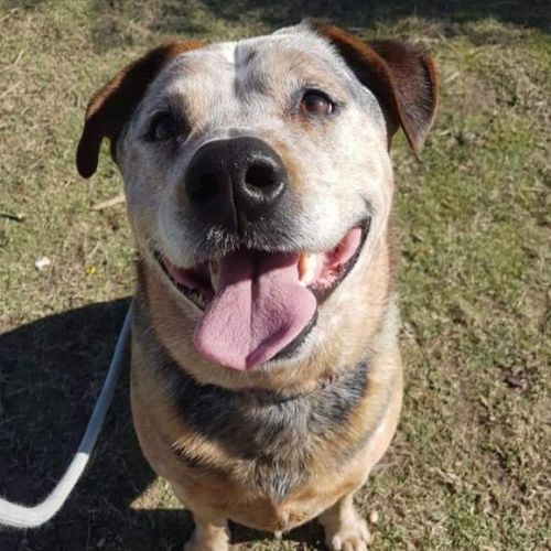 Bob - Blue Heeler Dog