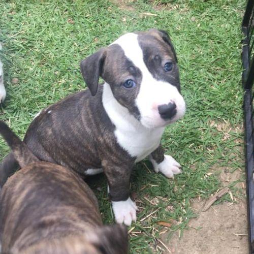 Willow - Staffordshire Bull Terrier x Bull Terrier Dog