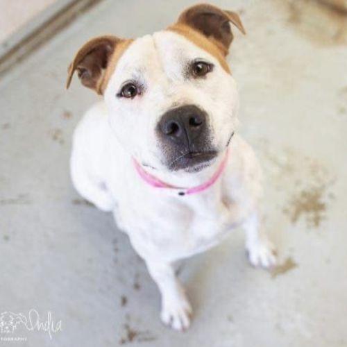 Mia (on trial adoption) - Staffy Dog