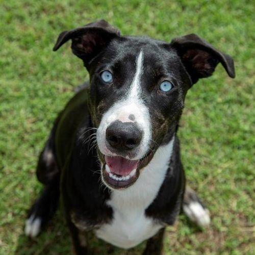 Holly - Bull Arab Dog