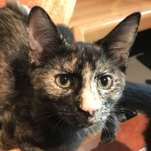 Amy Jezeroon - Domestic Short Hair Cat