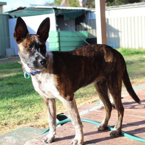 Pfeiffer - Australian Cattle Dog x Bull Arab Dog