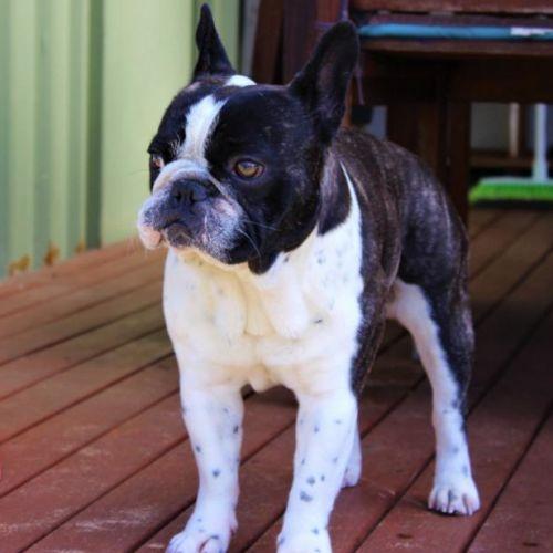 Jake - French Bulldog