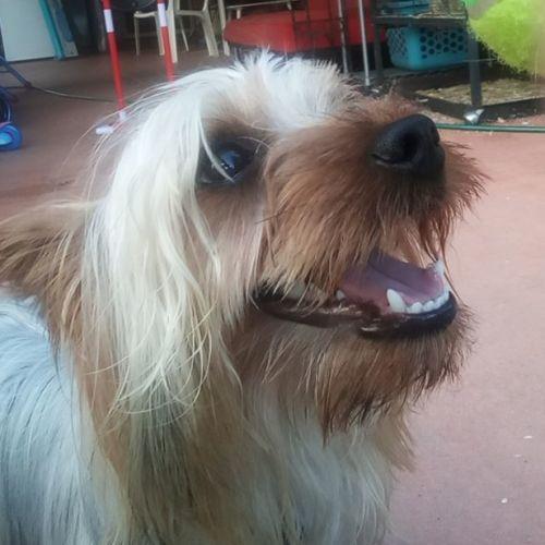 Charlie.. the Cheeky Champion - Australian terrier Dog