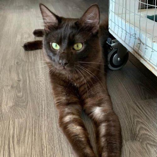 Dino - Domestic Medium Hair Cat