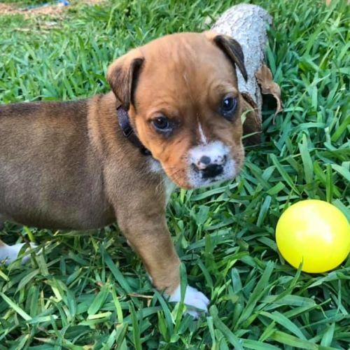Kylo - Staffordshire Bull Terrier x Australian Bulldog