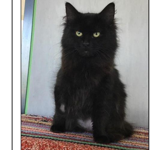 Fi - Domestic Long Hair Cat