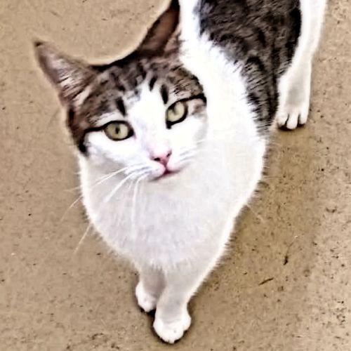 Personality Plus, Delilah! - Domestic Short Hair Cat