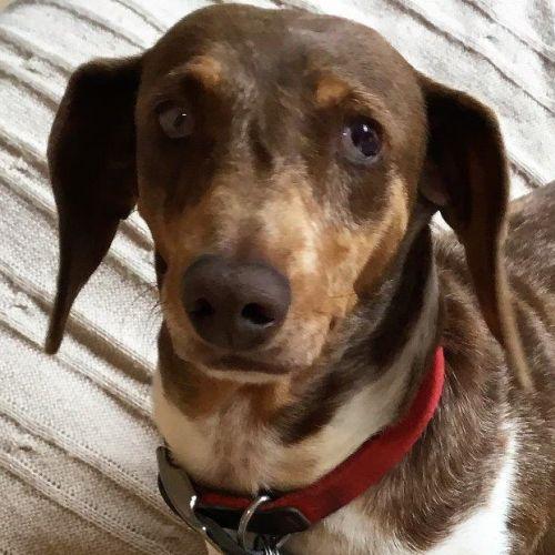 Ming Mahlberg - Dachshund Dog