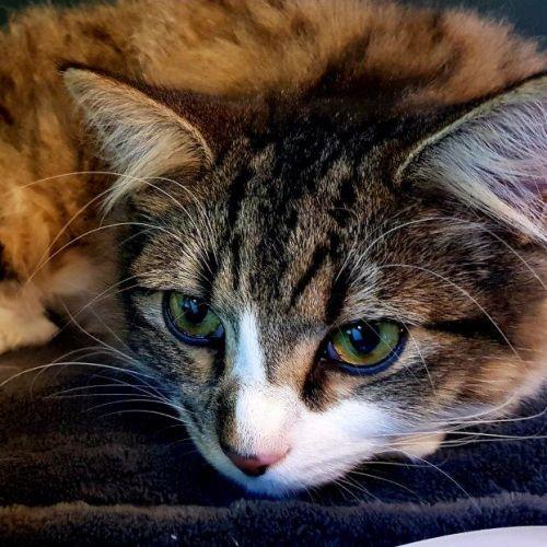Leo Del Rio - Domestic Medium Hair Cat