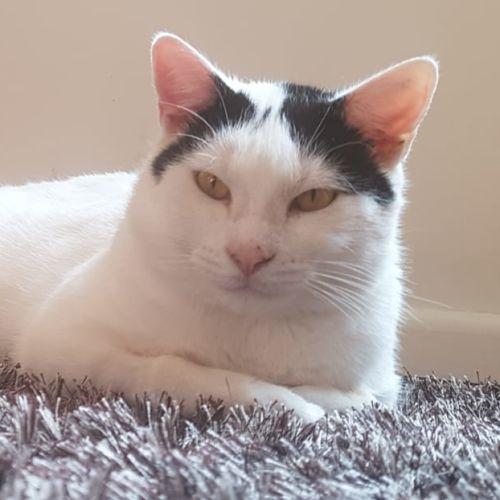 Freddie - Located in Brunswick - Domestic Short Hair Cat