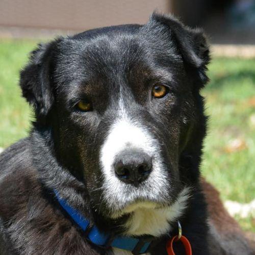 Polly - Border Collie Dog