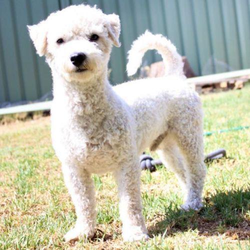 Rory - Bichon Frise Dog