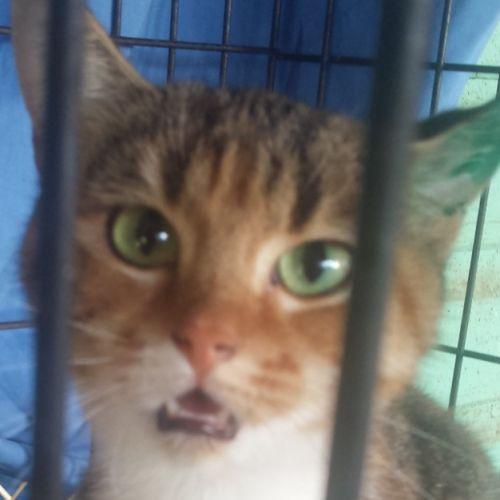 Rose - Domestic Short Hair Cat