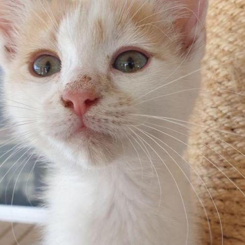 Phil - Domestic Medium Hair Cat