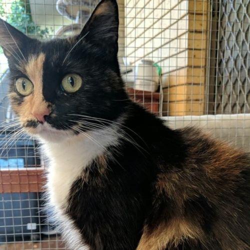 Vonnie - Domestic Medium Hair Cat