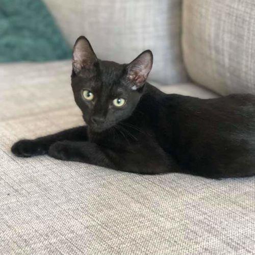 Sawyer - Domestic Short Hair Cat