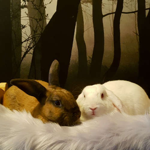 Hunter and Aspen - Mini Lop Rabbit