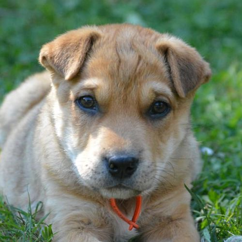 Oscar - German Shepherd x Kelpie Dog