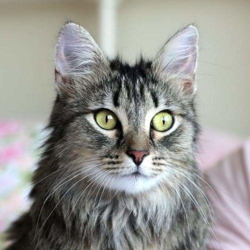 Stunning Ellie. - Domestic Long Hair Cat
