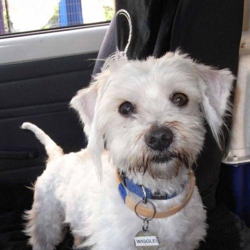 Wiggles - Maltese Dog