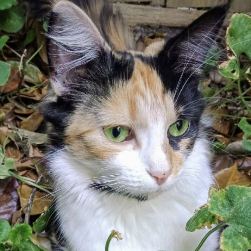 Twilla - Domestic Long Hair Cat