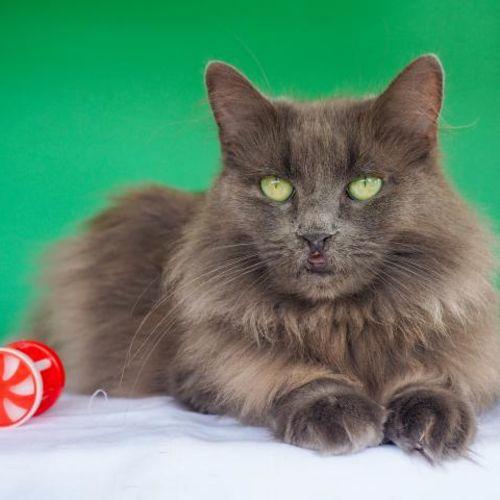 Asia - Domestic Long Hair Cat