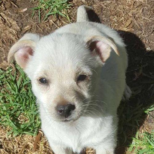 Crystal lee - Maltese Dog