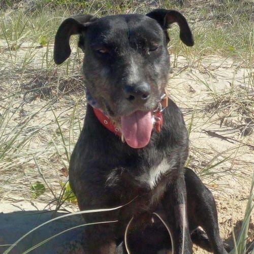 Missy - Wolfhound Dog