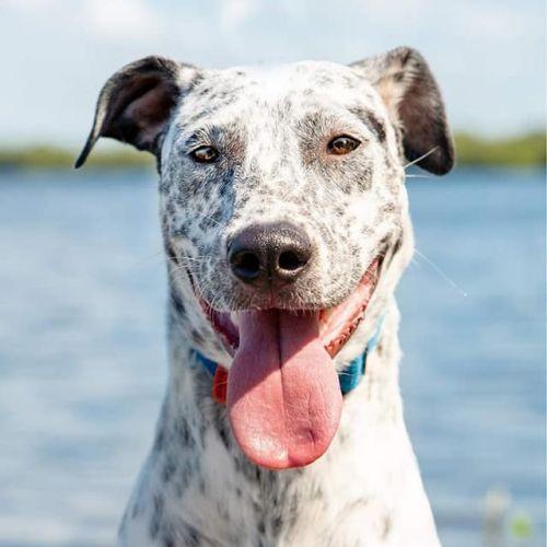 Stella - Australian Cattle Dog x Whippet Dog