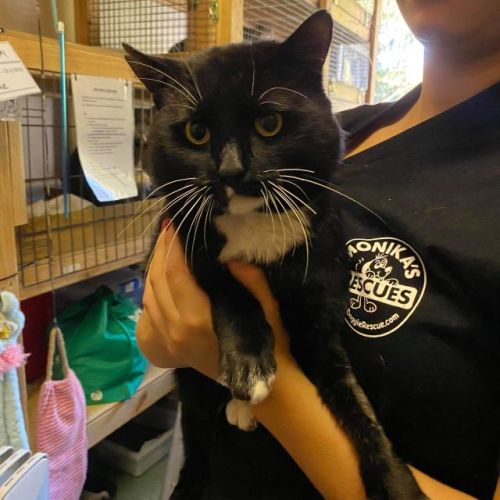 Taz - Domestic Short Hair Cat