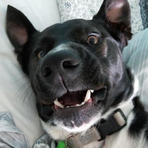 Scout DL2114 - Kelpie Dog