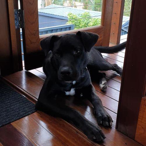 Bart - Staffy x Kelpie x Labrador Dog