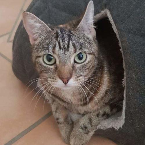 Lotus - Domestic Short Hair Cat